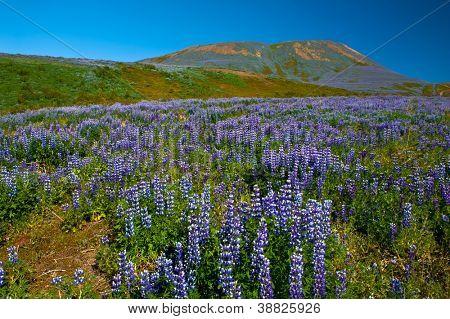 Meadows full of blooming Nootka lupin (Lupinus nootkatensis) in the mountains near Husavik, Iceland.