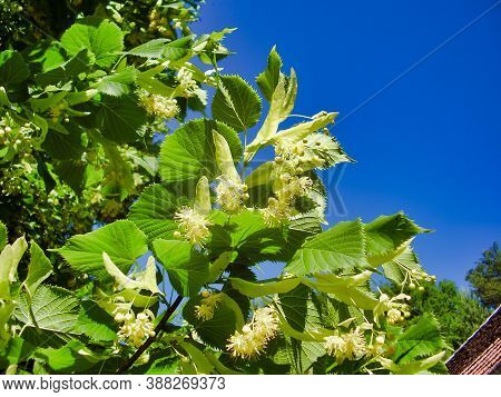 Close Up Of Lime Tree Flowers Against A Background Of A Beautiful Blue Sky, Also Known As A Linden T