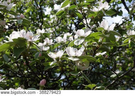 Florescence Of Quince Tree In The Garden In May