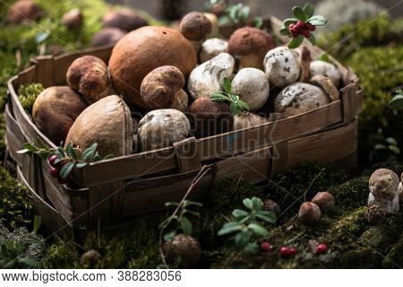 Autumn Cep Mushrooms. Ceps Boletus Edulis Over Wooden Background With Moss, Close Up.  Gourmet Food