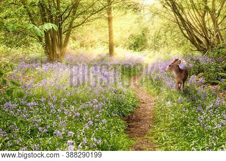 Deer In Bluebell Forest In Spring Time, With A Path Leading Into The Distance, And Morning Sunrise.