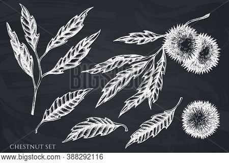 Vector Set Of Hand Drawn Chalk Chestnut Stock Illustration