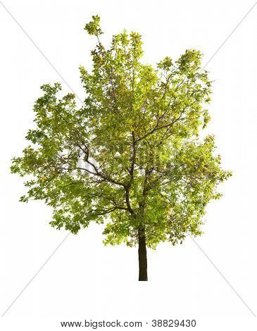 green spring oak tree isolated on white background