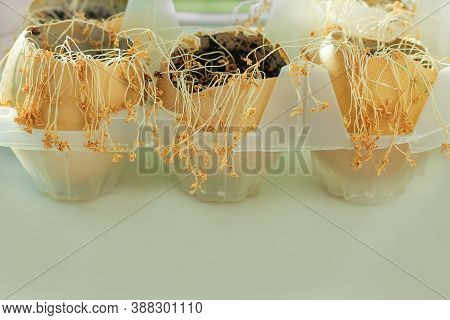 Take Care Of Your Home Plants And Flowers. Forgotten Seedlings Turned Yellow And Dried Up From Insuf