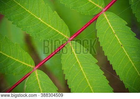 Closeup Of Some Leaves Of The Rhus Typhina Tree