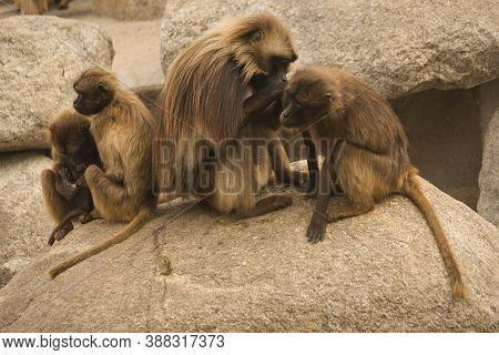 The Gelada Baboon (theropithecus Gelada) In Zoo.