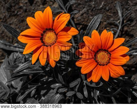 Two Bright Orange Red Gazania Flowers With Yellow Center On  Black And White Background, Summer Gard