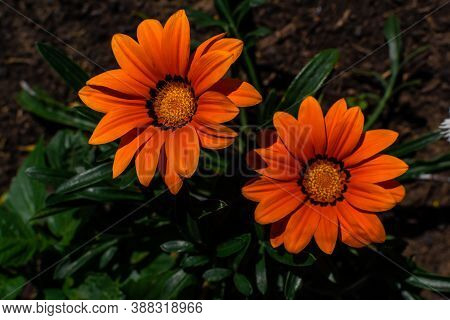 Bright Orange Red Gazania Flowers With Yellow Center With Green Leaves Grows On Flower Bed In Summer