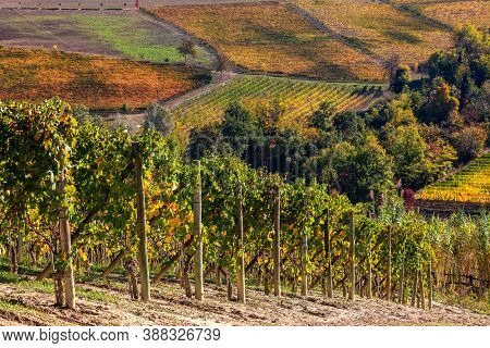 Autumnal vineyards grow on the hills of Langhe in Piedmont, Northern Italy.