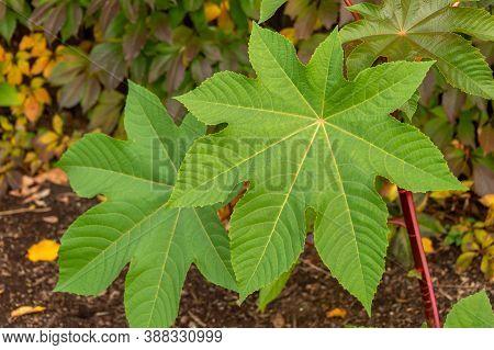 Castor Oil Plant Ricinus Communis Green Leaves