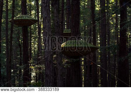 Red Wood Forest On Famous Treewalk Located In Rotorua - New Zealand. September 2020.