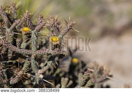 Yellow Florescences Bloom From Slender Cholla, Cylindropuntia Ramosissima, Cactaceae, Native Hermaph