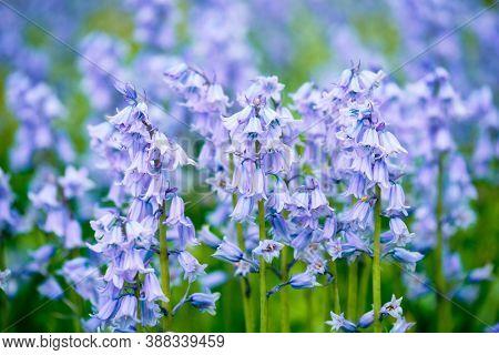 Bule Spanish bluebell (Hyacinthoides hispanica) flowers