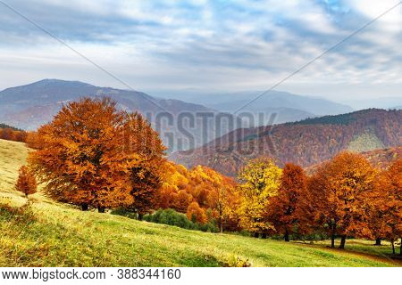 Panorama of picturesque autumn mountains with red beech forest in the foreground. Landscape photography