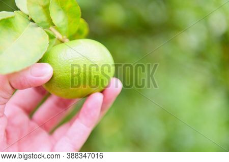 Green Limes On A Tree / Fresh Lime Citrus Fruit In The Garden Farm Agricultural With Nature Green Bl
