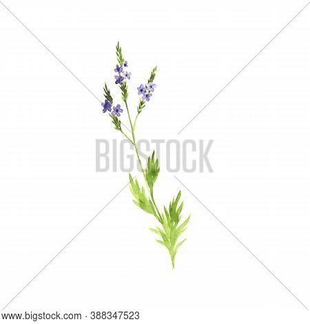 Watercolor Drawing Verbena, Verbena Officinalis, Hand Drawn Illustration Of Medicinal Plant