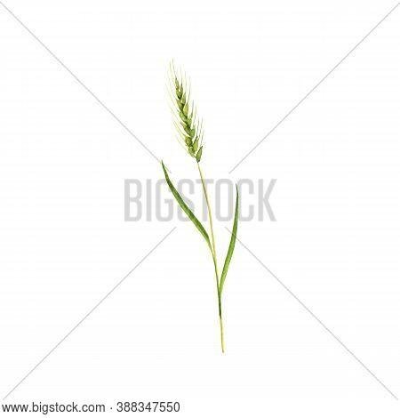 Watercolor Drawing Wheatgrass, Triticum Aestivum, Hand Drawn Illustration Of Medicinal Plant