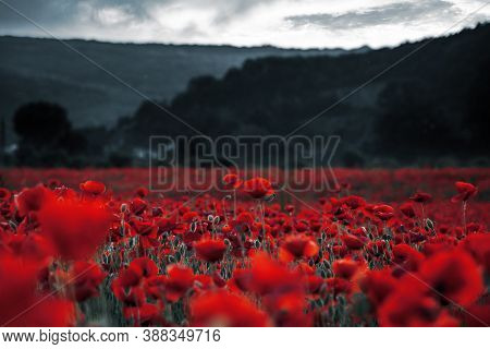 Red Poppies In The Field. Background Imagery For Remembrance Or Armistice Day On 11 Of November. Dar