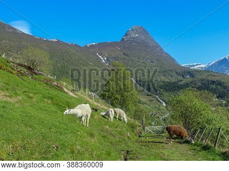 White And Brown Llamas Eat Green Grass. Alpine Pasture With Hedges. Agriculture And Business.