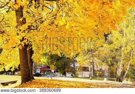 Big Trees In Autunm Season With Yellow Leaves In The Backlight On The Roadside