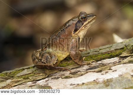 Agile Frog,  Rana Dalmatina On The Forest