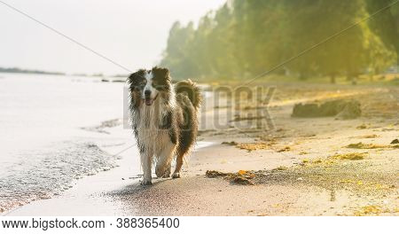A Dog Playing On The Sand Of The Sea, Close Up Of A Dog Walking On The Sand Of The Sea, Dog Walking