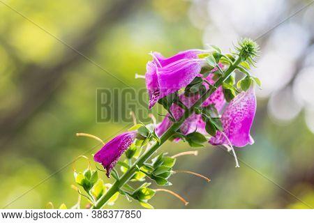 Digitalis Purpurea - Purple Flowers Of Wild Plant, Summer Day In Nature