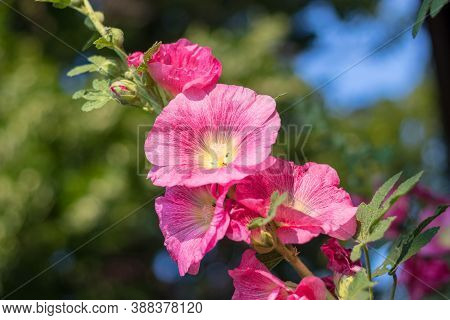 Alcea Rosea, The Common Hollyhock - Red Blossom Flowers, Close Up View, In The Garden