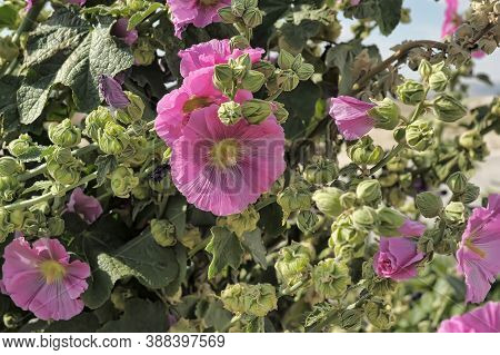 Pink Malva Silvestris. Mallow. Blooming Musk Mallow(malva Alcea, Cut-leaved Mallow, Vervain Mallow O