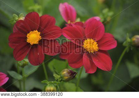 Cosmos Bipinnatus; Cosmos Sulphureus) Cosmos; Gardens Cosmos; Mexican Aster