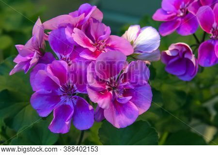 Salmon Pink Pelargonium Flowers Closeup. Garden Pelargonium Or Pelargonium Zonale.
