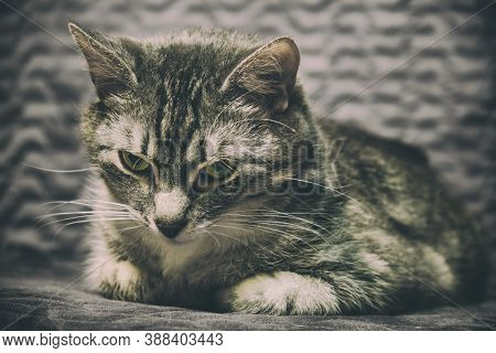 Melancholy And Loneliness In The Eyes Of A Sick Domestic Cat. Painful Gray Despondency Around A Pet,
