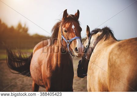 Two Domestic Horses With Bridles On Their Muzzles Walk In The Middle Of The Field And Play With Each