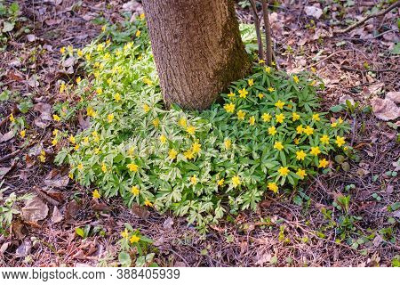 Yellow Flowers Around A Tree In The Park. Anemone Ranunculoides Is A Plant In The Buttercup Family,