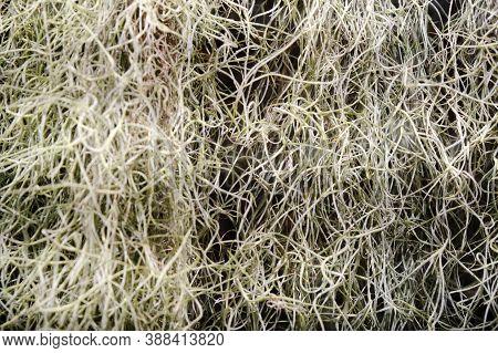 Tillandsia Usneevidnaya, Or Spanish Moss, Or Louisiana Moss, Or Spanish Beard-a Plant Of The Bromeli