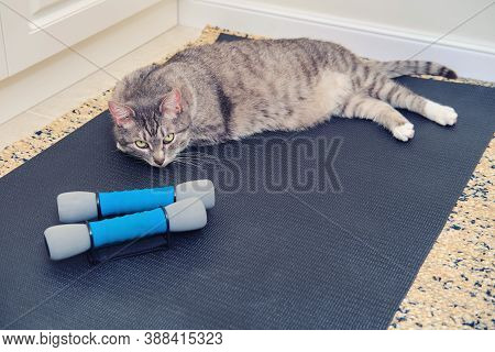 The Cat Is Lying On The Training Mat Next To The Dumbbells. Concept Of Isolation During The Coronavi