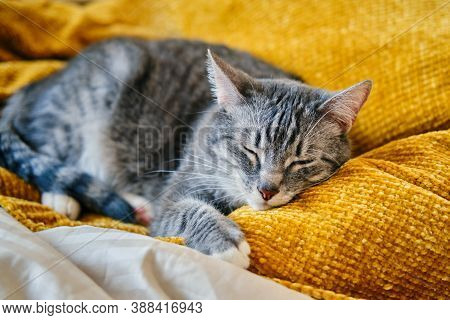 The Cat Purrs With Closed Eyes Lying On A Yellow Blanket Background