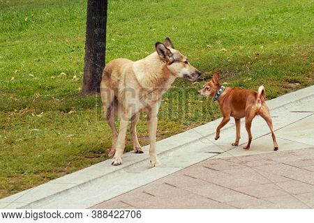 Small And Big Dog Sniff Each Other. Homeless Dog And Purebred Toy Terrier, Background