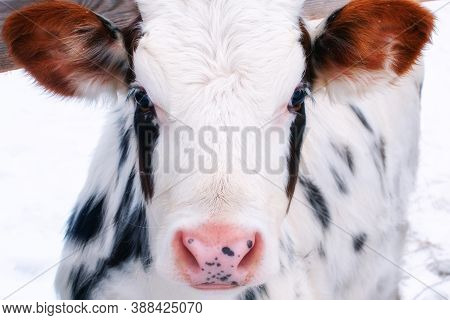 Young Calf Of A Dairy Cow With Big Ears. Cattle In The Paddock Outdoors In Winter. White Cow With Bl