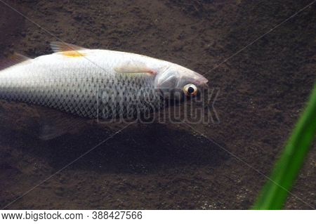 Dead Fish In The River Because Water Pollution. Fish Dies In Dirty Water. Environmental Pollution By