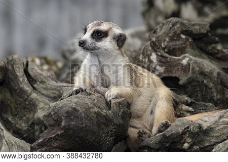 Cute Meerkat That Small Animal Its Standing To Alert Look In Forward On A Small Timber That Put On B