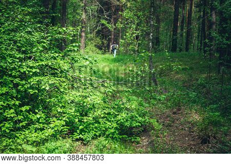 Beautiful Dense Forest Scenery With Trees And Plants With Vivid Green Foliage. Man Got Lost In Deep