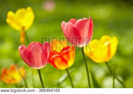 Red And Yellow Tulips, Macro Shot, Nature Sunlight Background. Shallow Dof.