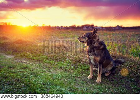 Dog Gazing Sunset In Countryside. Beautiful Nature Image.