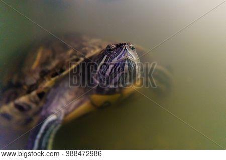 Red Eared Creeper Turtle Trachemys Scripta Elegans. Selective Focus