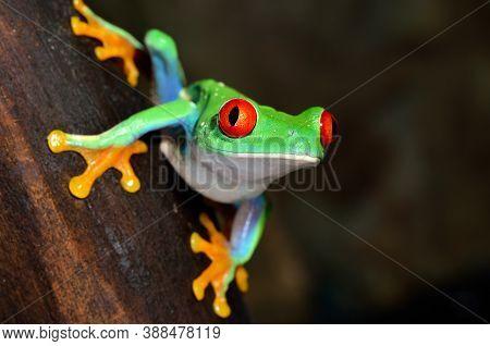Red Eye Frog  Agalychnis Callidryas In Terrarium