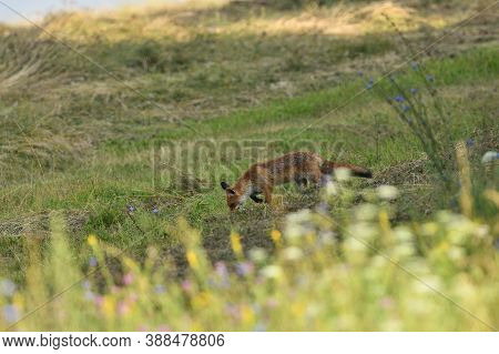 Red Fox Stalking On A Meadow For Mouse