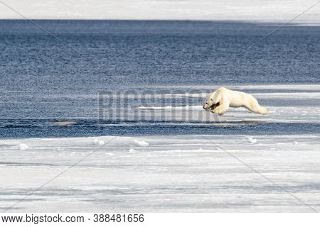 Young adult male polar bear, ursus maritimus, in mid air as he jumps from the fast ice into the Arctic ocean, having spotted a beluga whale in the water.