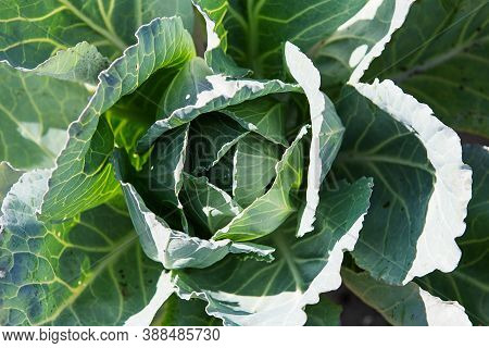 White Cabbage In The Garden. Close Up On Fresh Cabbage In Harvest Field. Cabbage Are Growing In Gard