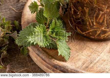 Nettle Plant Next To A Bottle Of Tincture Prepared From Alcohol And Urtica Dioica Roots